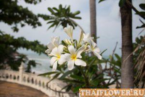 цветущее дерево Плюмерии франжипани