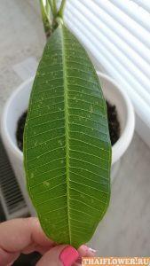 листья Плюмерии с паутинным клещом