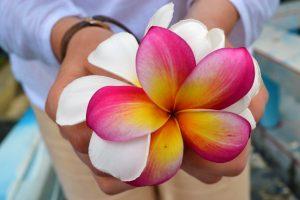 цветки франжипани