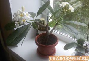 Цветок Франжипани