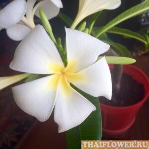 Плюмерия цветение дома
