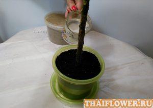 Выращивание Плюмерии фото полив посаженого