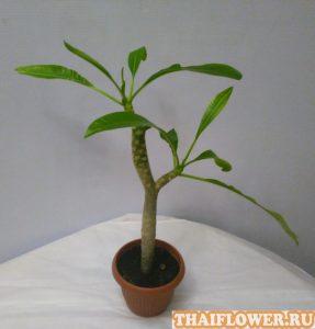 Выращивание Плюмерии фото черенка