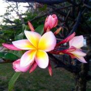 Черенки розовой плюмерии Red Lim 2